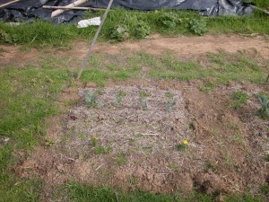 picture of a biochar test plot number 4
