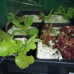 Picture5 150x150 A trial to see if Biochar can enhance plant growth in a hydroponic environment