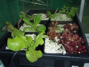 biochar as a hydroponic medium growing lettuces