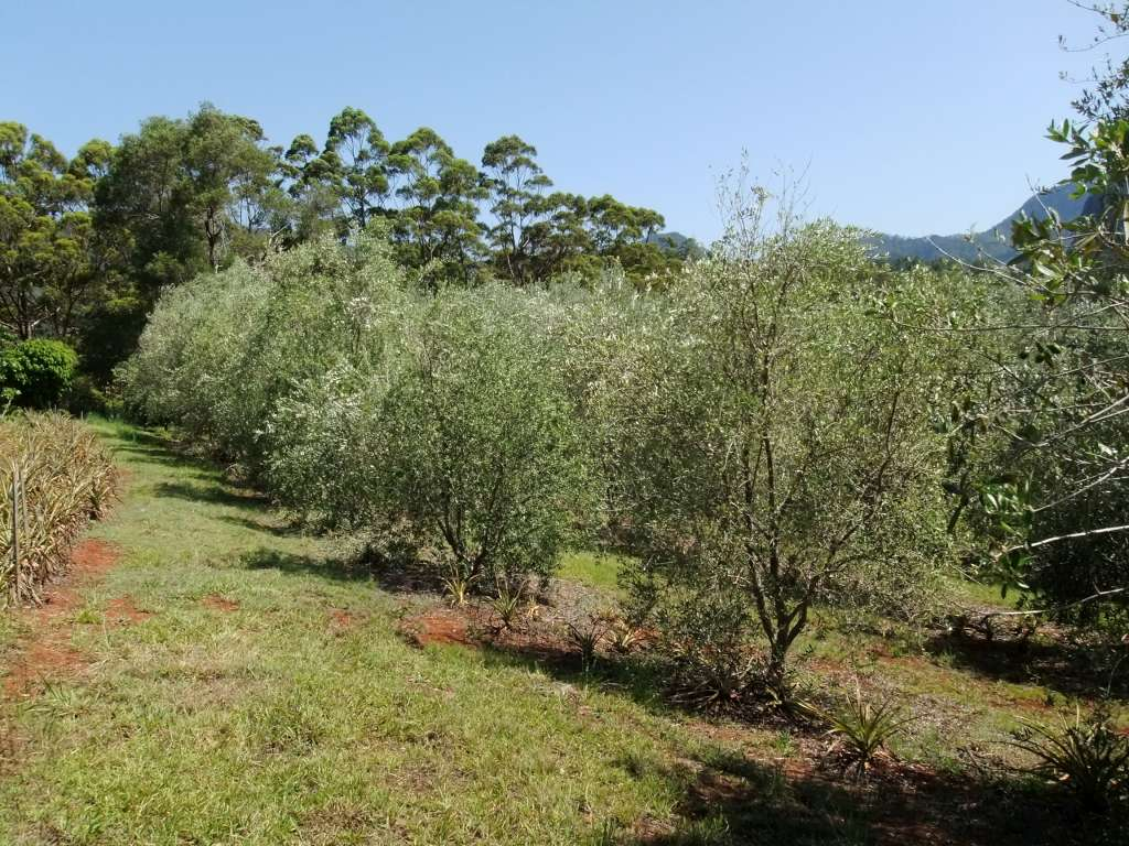 Olive Trees and Biochar