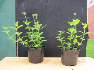 Verbena biochar project singleton high