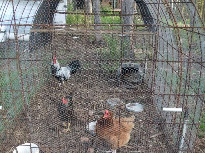 Breeding pen for Meat Birds-720