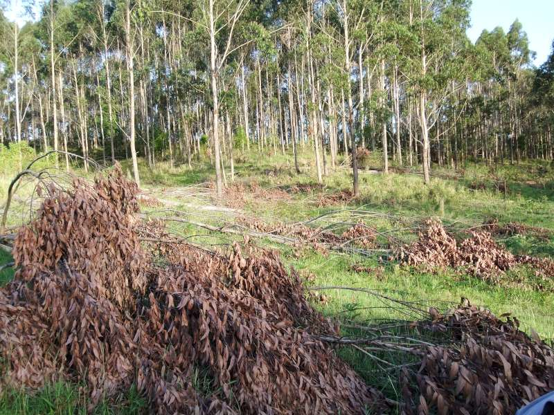 Plantation thinnings to be made into biochar.