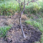 Digging a trench around the roots of a dead tree to lay biochar