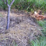 a picture of a dead tree with biochar laid around it in a trench fasion then covered with mulch